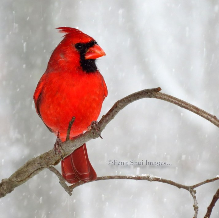 Cardinal heavy snow