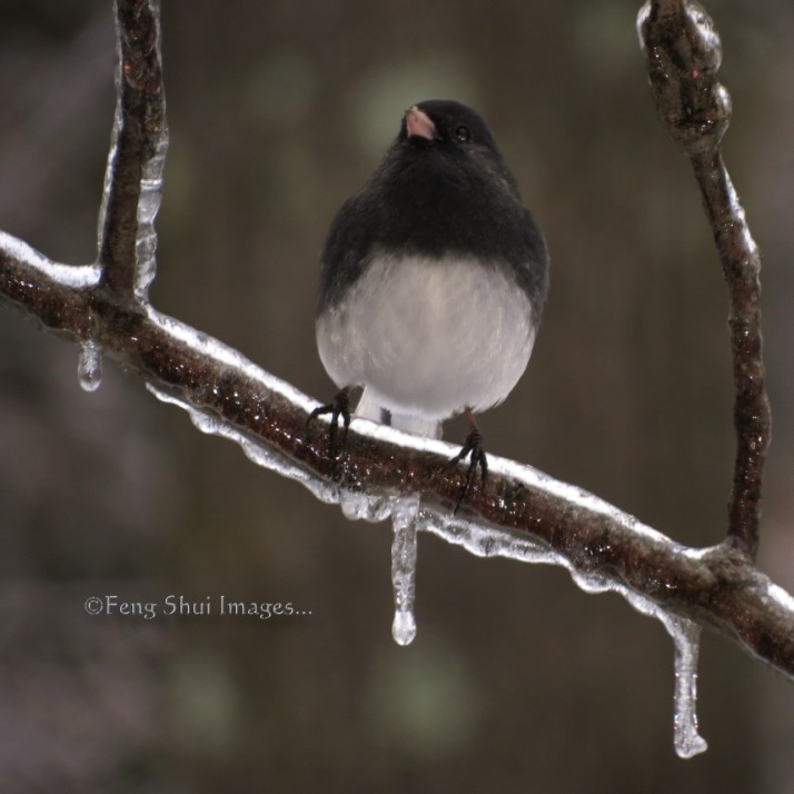 Bird,Junco on icy branch